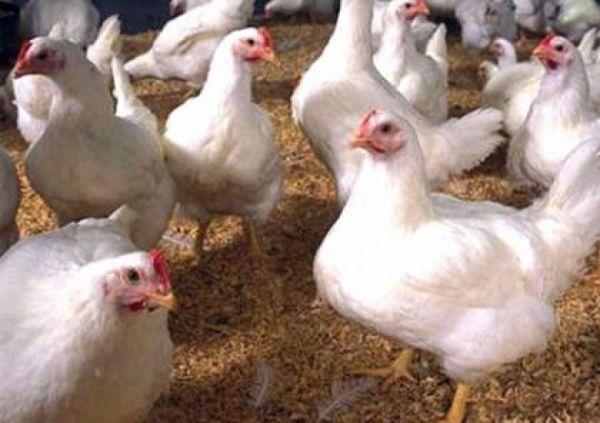 ارتفاع متصاعد في أسعار الدجاج بصنعاء