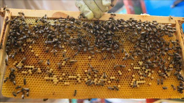 """سعودي يعتزم دخول """"غينيس"""" بتغطية جسمه بـ 100 كغم من النحل"""